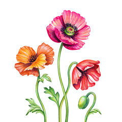 botanical watercolor illustration, red poppies bouquet, assorted rustic poppy flowers isolated on white background