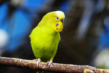 Yellow-Green Budgie Parakeet