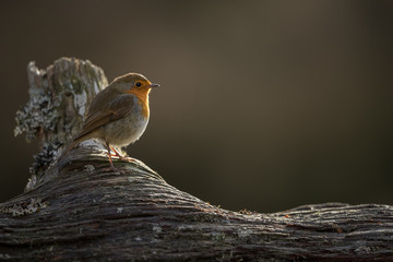 Wall Mural - Robin partly back lit perched on a log with a brown background.