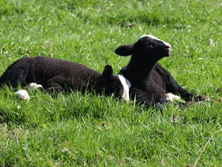 Sheep and lambs on green meadows in Moerkapelle, Netherlands