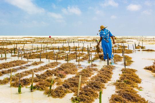 Woman working in sea weed plantation. Paje, Zanzibar, Tanzania.