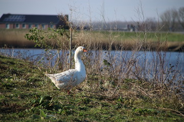 white goose on the riverside of the Hollandse IJssel in Gouderak, the Netherlands