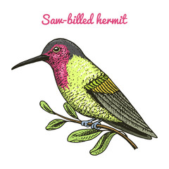 Small Rufous and White-necked Jacobin bird. Exotic tropical animal icons. Golden tailed sapphire. Use for wedding, party. engraved hand drawn in old sketch.