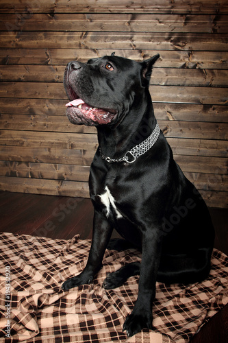 Cane Corso Black Dog On A Brown Background Stock Photo And Royalty