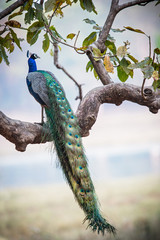 Photo sur Toile Paon Peacock in a tree in Kanha National Park in India