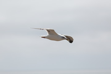 one white seagull flying free