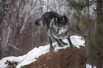 Fotomurales - Black Phase Grey Wolf (Canis lupus) Leaps Off Rock