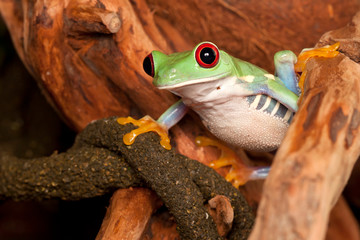 Red eyed tree frog watching environment