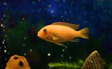 close up of a rock dwelling fish   cichlid Maylandia estherae is a Pseudotrophine cichlid (Pseudotropheus estherae), Cichlidae.