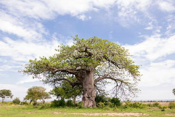 Baobab in Natural Park