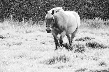 Monochrome picture of european wild horses in an open field near water