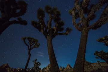Joshua Trees at night with clean and starry sky, Joshua Tree National Park, California