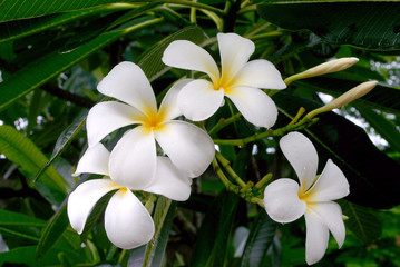 White plumeria flower on the tree .
