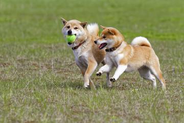 屋外で遊ぶ柴犬