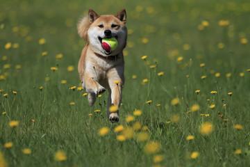野原の柴犬