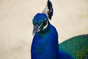 Pavão azul e verde