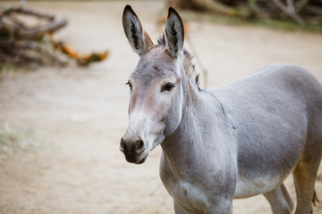 Portrait, head close-up of a wild gray donkey with white stripes eats at the zoo