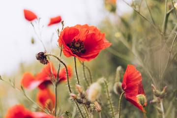 red poppy flowers on a background of a green field