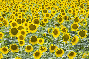 A field of sunflowers, Provence, France