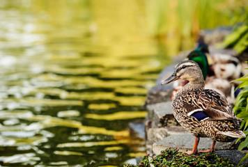 Ducks near the river.