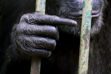 Chimpanzee hand, Animal Hand