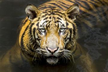 Tiger. Beautiful Tiger Portrait. Tiger in the wild