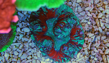 Open brain lps coral in reef tank