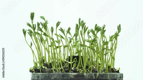 Lentils sprouts growing - time lapse