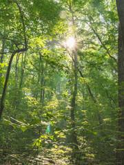 Sun Through Tree Forest