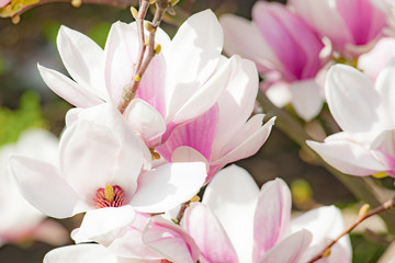 magnolia flower pink