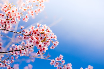 Royalty high quality free stock footage of cherry blossom sakura  (Prunus Cesacoides) in spring time.Mai Anh Dao is symbol flower in Da Lat which blooms in the first months welcome spring