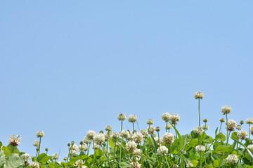 クローバーの花 青空