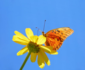 beautiful orange fritillary butterfly on a flower sipping nectar and spreading pollen on a warm summer day