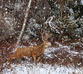 beautiful buck or stag with large antlers running through the forest when it's snowing during winter looking for food or shelter trying to stay warm