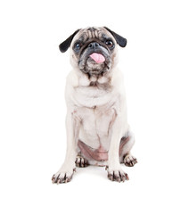 cute pug with her tongue hanging out studio shot isolated on a white background