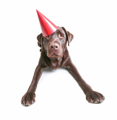 chocolate lab with a birthday party hat on studio shot isolated on a white background