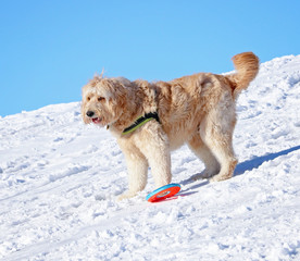 golden doodle playing with a toy on a hill top on a sunny winter day