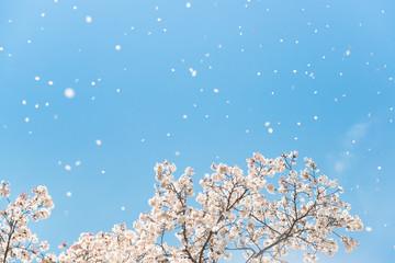 桜ふぶき /満開の桜が春風で空高く舞い散る風景