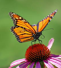 beautiful orange monarch butterfly on a cone flower sipping nectar and spreading pollen on a warm summer day