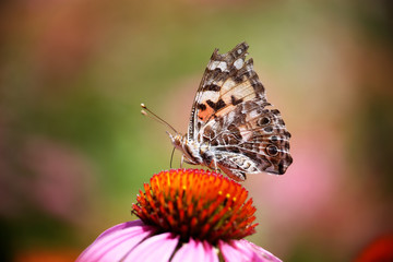 beautiful painted lady butterfly on a flower sipping nectar and spreading pollen on a warm summer day