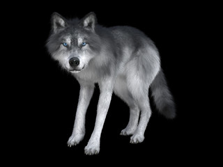 3D rendering of a white wolf isolated on black  background
