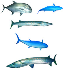 Ocean fish collection on white background. Trevally (Jack fish), Barracuda and Tuna fishes isolated