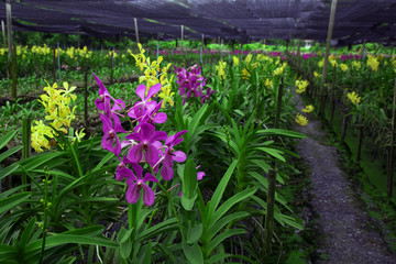 Beautiful orchids in farm