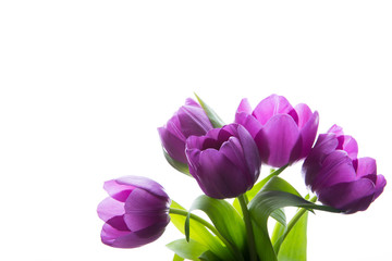 Bouquet of fresh purple tulips. Purple tulips on the white background