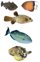 Tropical reef fish isolated on white background. Fish of Indian and Pacific Oceans. Collection of fish cutouts