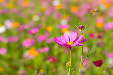 pink cosmos flower with blurred background