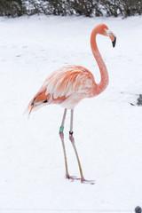 Garden Poster Flamingo Adult bird flamingo on snow in winter.