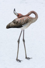 Young bird flamingo on snow in winter with bent neck.