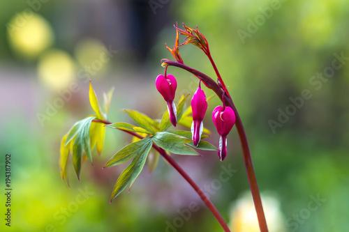 Bluete Von Garten Blume Traene Herz Pflanze Stock Photo And Royalty