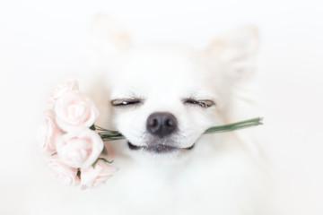 バラの花束を咥えたチワワ 5